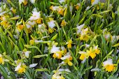 picture of early spring  - Early spring Daffodils covered with snow close - JPG
