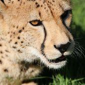 ������, ������: Cheetah