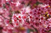 foto of amaze  - Spring flower beautiful nature with sakura bloom in vibrant pink cherry blossom is special of Dalat Vietnam blossom in springtime amazing old tree nice view up to sky make abstract background - JPG