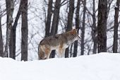 picture of coyote  - A lone coyote in a winter scene