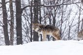 image of coyote  - A lone coyote in a winter scene - JPG