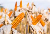 stock photo of corn  - Dried corn in a corn field against blue sky - JPG