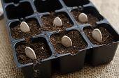 foto of seed  - Pumpkin seeds - JPG