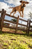 stock photo of dog teeth  - photograph of a dog jumping the fence