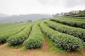 stock photo of darjeeling  - green tea plantation landscape nature view background  - JPG