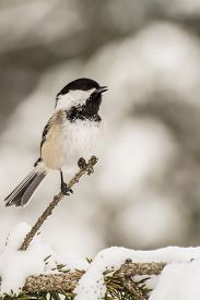 stock photo of chickadee  - A Black-capped Chickadee singing in the snow. ** Note: Visible grain at 100%, best at smaller sizes - JPG