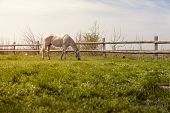 image of pasture  - Domestic horse grazing on pasture at sunset - JPG