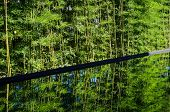 picture of bamboo forest  - Bamboo Forest with reflect in water - JPG