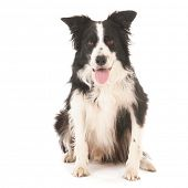 stock photo of collie  - Border collie isolated over white background - JPG