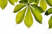 stock photo of chestnut horse  - Frame of translucent horse chestnut textured green leaves in back lighting on white  background with sun shine flare  - JPG