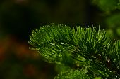picture of pine-needle  - Pine tree branch of fir needles at dark colorful background - JPG