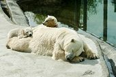 image of bear cub  - bear with two cubs resting near water - JPG