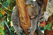 pic of herbivorous  - Native Australian herbivorous  Marsupial hugging gum tree - JPG