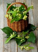 stock photo of linden-tree  - Arrangement of Linden - JPG