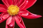 picture of backround  - red flower at a black backround close up - JPG