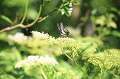 pic of butterfly flowers  - Bluebottle Swallowtail butterfly and flowers - JPG