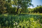 picture of linden-tree  - The meadow which overgrew herbs against trees in the sunny summer day - JPG