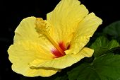 stock photo of hibiscus flower  - A close up of a Chinese Hibiscus flowering in summer - JPG