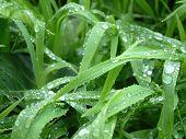 Grass After Rain