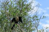 pic of jungle snake  - snake neck bird in Madidi Park - JPG