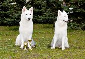 stock photo of swiss shepherd dog  - The White Shepherds seat in the park on the grass - JPG