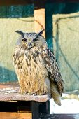 pic of caged  - portrait of a beautiful owl dozing vigilant in a cage - JPG