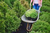 foto of wheelbarrow  - Female carrying green plants in wheelbarrow - JPG