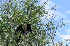 stock photo of pampa  - snake neck bird in Madidi Park - JPG
