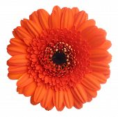stock photo of gerbera daisy  - Red gerbera  - JPG