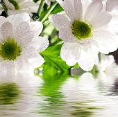 Closeup of white daisy-gerbera with soft focus reflected in the water