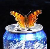 Butterfly On A Busch