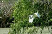 Great Egret In Flight Closeup