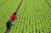 picture of e coli  - harvest of  green fresh lettuce by two women - JPG