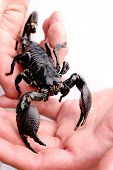 Emperor Scorpion In Man'S Hands