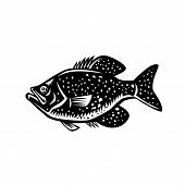 Retro Woodcut Style Illustration Of A  Crappie Fish, Papermouths, Strawberry Bass, Speckled Bass, Sp poster