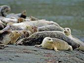 Harbor Seal 5