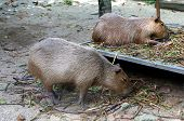 Capybara (hydrochoerus Hydrochaeris) Is A Mammal Native To South America. It Is The Largest Living R poster