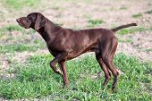 A Young Muscular Brown Hunting Dog Is Standing In A Point In The Field Among The Green Grass. A Spri poster