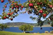 picture of apple orchard  - branch of shiny red apples with lake and mountains in background