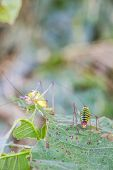 Close Rear View Of A Male Saddle-backed Bush Cricket On A Damaged Lime Tree Leaf, Another Blurred Bu poster