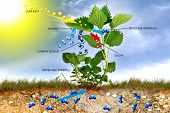 stock photo of photosynthesis  - Graphical representation of photosynthesis as an example nettles - JPG