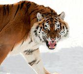Tigre siberiano gruñendo