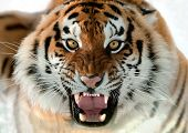stock photo of tigress  - The Siberian tiger  - JPG