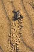 Loggerhead Turtle Baby (Caretta Carretta)