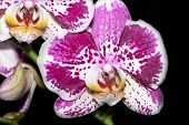 A Beautiful Spotty Orchid2