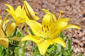 picture of asiatic lily  - A bright sunny yellow Lily blossom with small red dots fully open visible stamen and full blossom focused - JPG