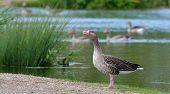 Greylag goose drake