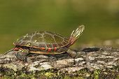 Midland Painted Turtle Basking on a Log