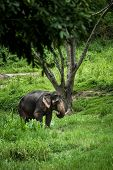 Mature elephant stands in the middle of the forest in the jungle of Chiang Mai