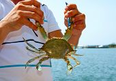 pic of dalyan  - Blue crab in male hands of Dalyan Turkey - JPG